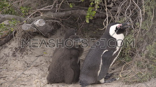 Scene of two penguin chicks huddling near their mother