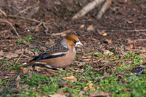Hawfinch bird sitting on the ground (Coccothraustes coccothraustes