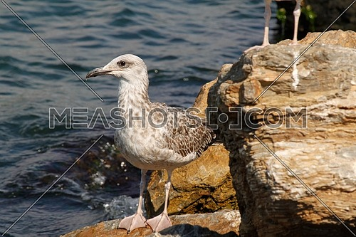 Seagull by the shore in Turkey standing on a rock