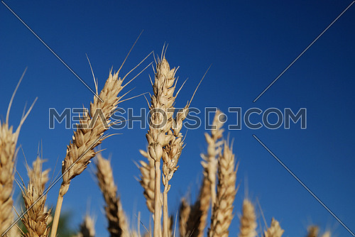 wheat and blue sky   (NIKON D80; 6.7.2007; 1/80 at f/8; ISO 100; white balance: Auto; focal length: 50 mm)