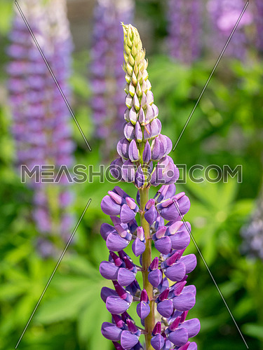 Lupine multilingual or Lupinus polyphyllus is a flowering plant of the legume family (Fabaceae).