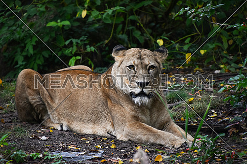 Full length front portrait of female African lioness resting on the ground and looking at camera, high angle view