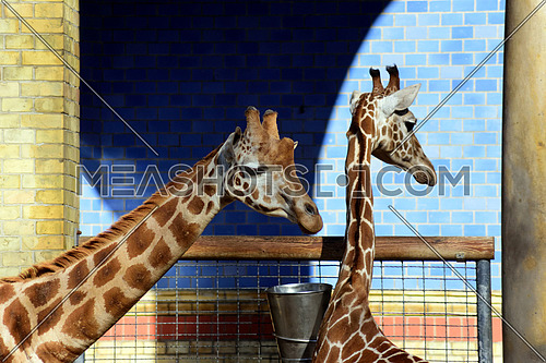 two girafes in a zoo