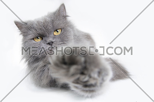 A litte grey Kitty cat