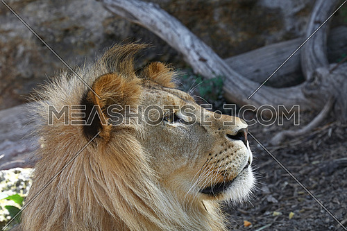 Close up side profile portrait of young cute male African lion with beautiful mane, looking away, low angle view