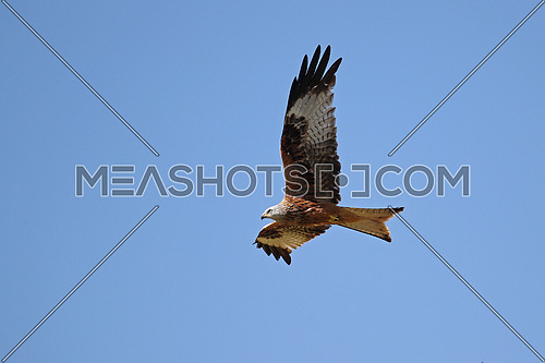 Red Kite, Milvus Milvus; in flight against clear blue skies