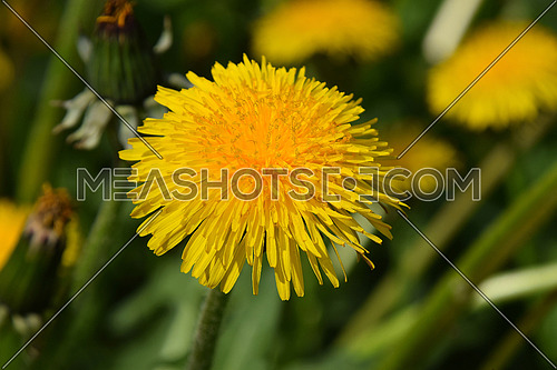 Beautiful bright yellow dandelion flower under sunshine on the green grass background