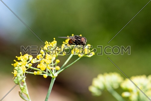 The housefly (Musca domestica) is a fly of the suborder Cyclorrhapha