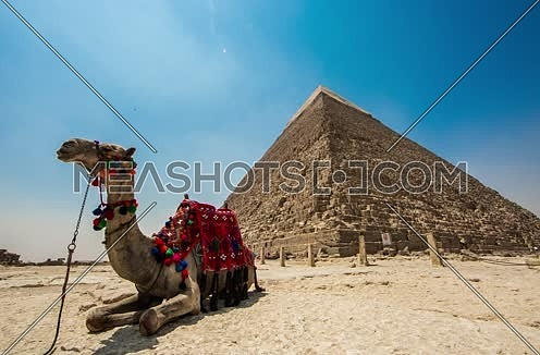 Timelapse at Giza Pyramids with Camel at day