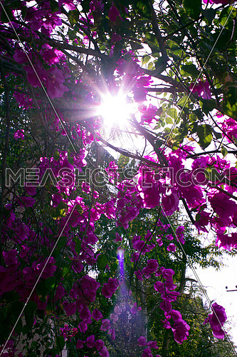 Purple flowers on a tree with sun flare