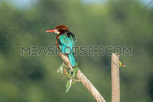 Colourful White Throated KingFisher