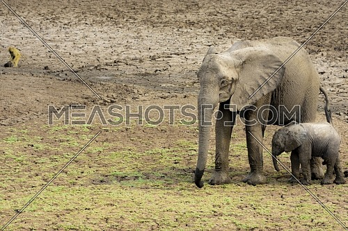 Long shot for elephants at open park in luangwa, Zambia at day
