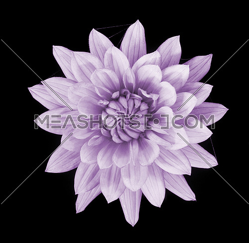 beautiful pink dahlia flower  isolated on black background with rain drops in garden