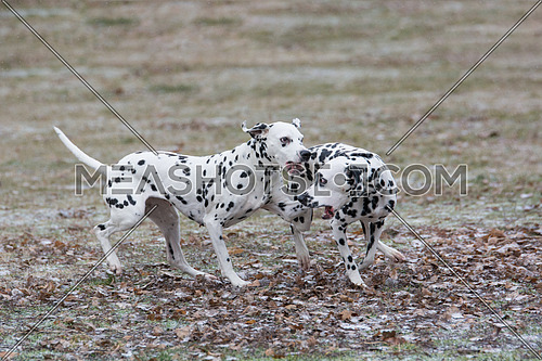 Two young beautiful Dalmatian dogs running outdoors in winter