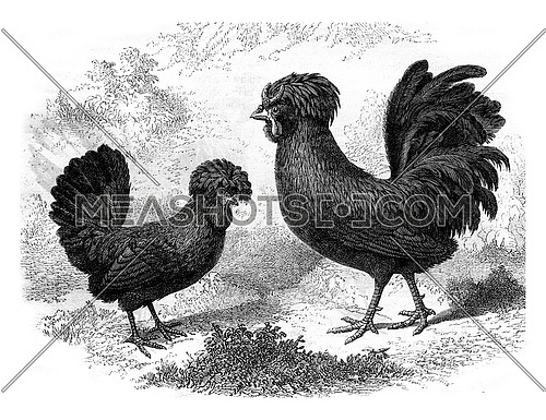 Rooster and Hen Crevecoeur, vintage engraved illustration. Magasin Pittoresque 1880.