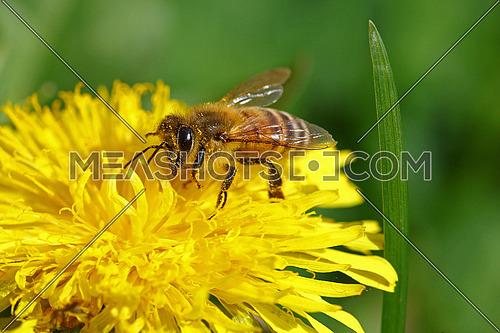 Honeybee going through a yellow dandelion flower