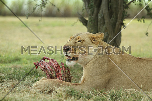 Lioness Eating in a forest