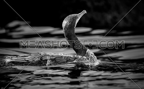 black and white image of Great Cormorant Bird in water