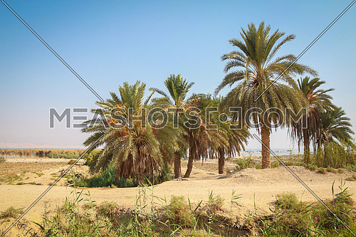 Palm trees in a desert oasis