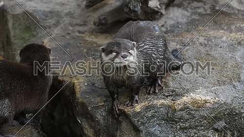 Close up portrait of one small river otter screaming and yawning, looking at camera, in zoo enclosure, high angle view