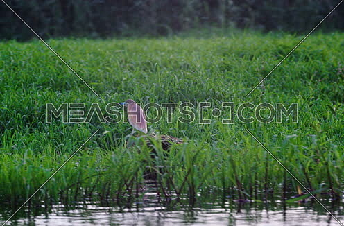 Follow Shot for Squacco Heron on the River Nile