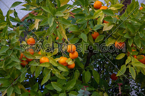 Branch with fresh ripe tangerines and leaves image