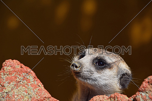 Close up side profile portrait of one alerted meerkat looking away over rocks, low angle view