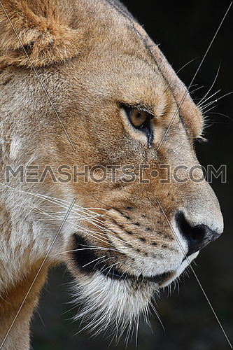 Close up side profile portrait of beautiful mature female African lioness looking away over dark background, low angle view