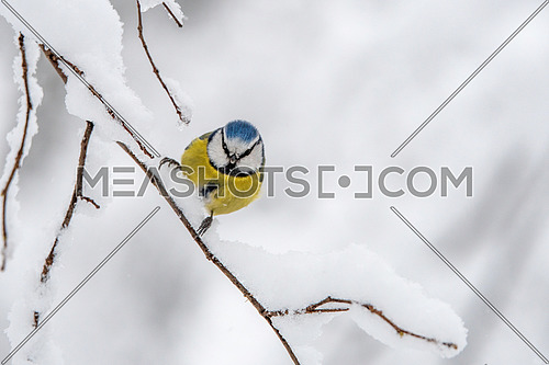 Blue tit (Parus caeruleus) resting on tree branch in winter