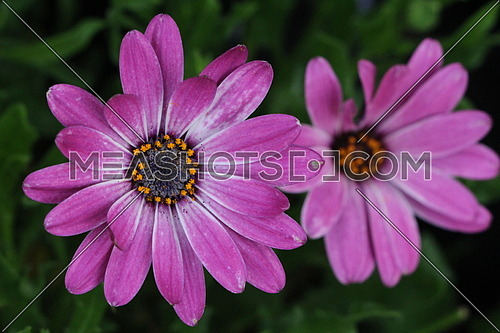 Close up on two beautiful purple African daisy, one on focus and the other blured