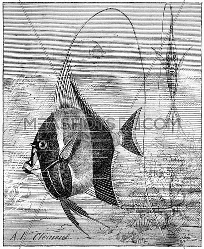 Moorish Idol or Zanclus cornutus, vintage engraved illustration. Dictionary of Words and Things - Larive and Fleury - 1895