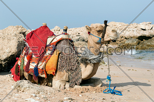 A camel laying down in the desert beside a shore