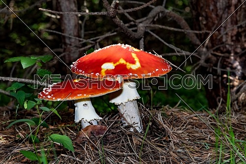 Close up of red Fly Amanita (Amanita Muscaria) in the forest in fall. Autumn colorful scene background in sunlight. Poisonous mushroom.