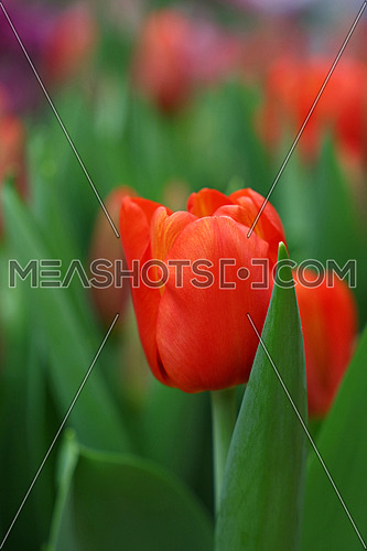 Scarlet red fresh springtime tulip flowers with green leaves growing in field, close up, low angle view
