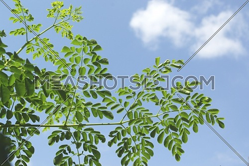 Leaves And Branches Of The Moringa Tree Called Superfood Against A Background Of Cloudy Blue Sky