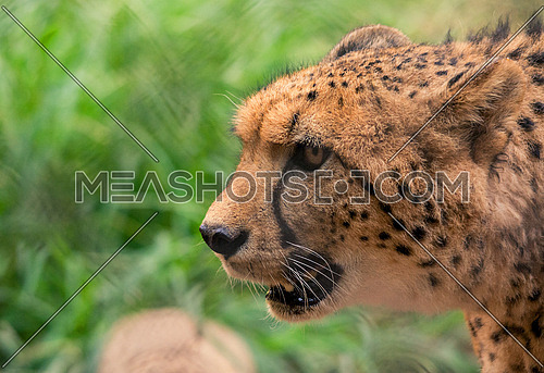close up on a Cheetah's face in the forest