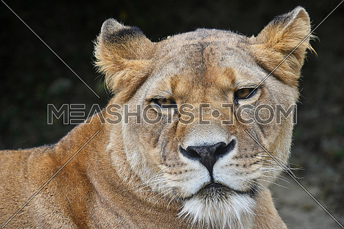 Face to face, close up portrait of beautiful mature female African lioness looking at camera over dark background, low angle view