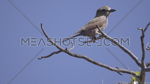 View of a Rufous-Crowned Roller looking around