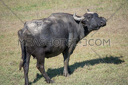 Buffalo standing and eating some fresh green grass