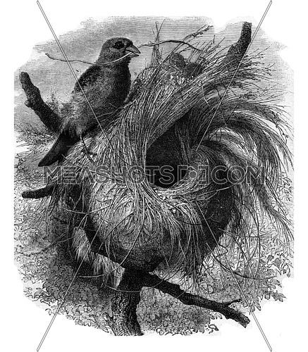 Grosbeak migratory of Madagascar and its nest, vintage engraved illustration. Magasin Pittoresque 1877.