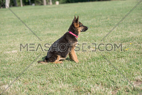 German shepherd puppy sitting on the grass. Selective focus on the dog