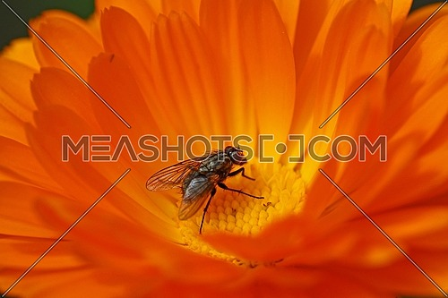 Colorful yellow and orange flower with a fly pollinating
