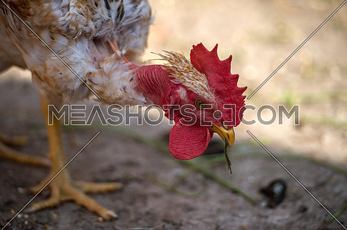Rooster and chicken portrait