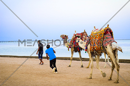 Two Camels on the beach in Sharm El-Shiekh - Egypt