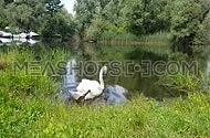 Mute Swan grazing, drinking and swimming in a rerene natural lake setting with a mallard duck swimming in the background