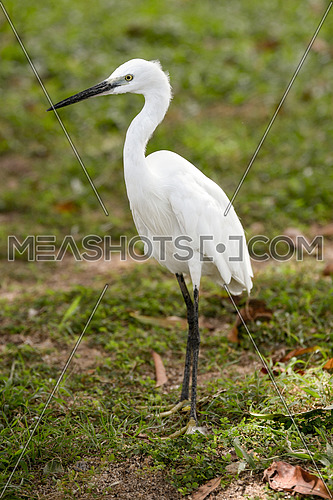 Little white Egret, Egreta garzetta