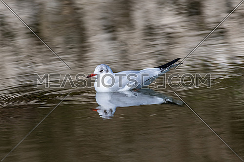 Black headed Gull (Larus ridibundus) in water