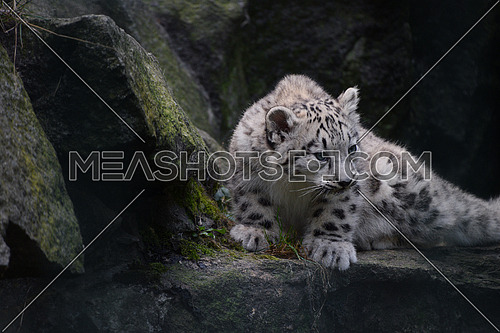 Close up full length front portrait of young snow leopard cub on rocks, looking at camera, low angle view