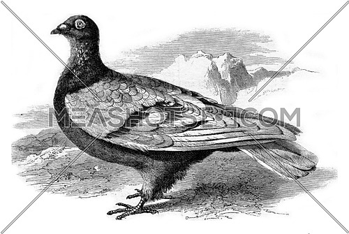 Type of Homing Pigeon, vintage engraved illustration. Magasin Pittoresque 1873.