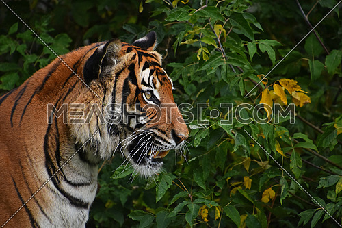 Close up side portrait of Indochinese tiger